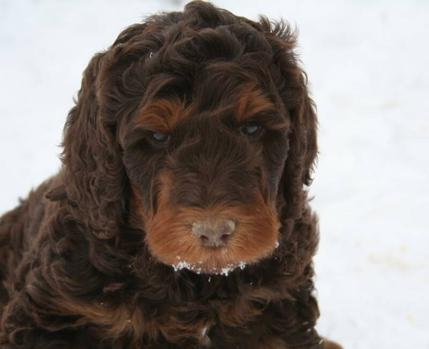 Chocolate Goldendoodle Puppies