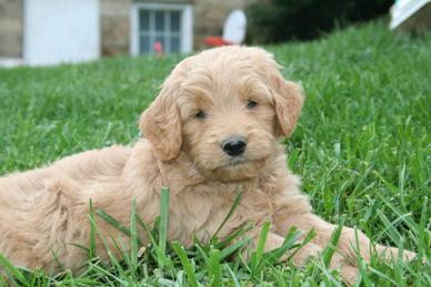 Goldendoodle Labradoodle Double Doodle Puppies From