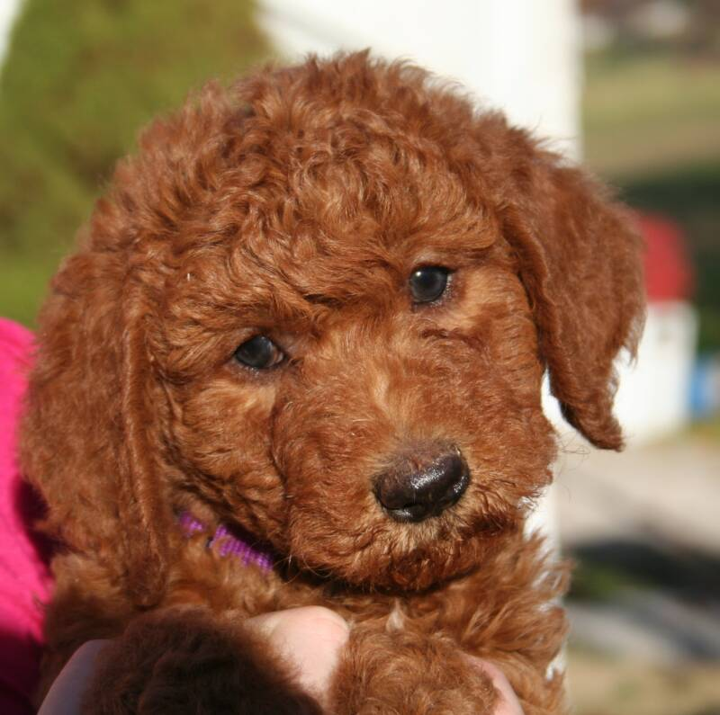 Goldendoodle and Labradoodle Puppies of Yesteryear Acres