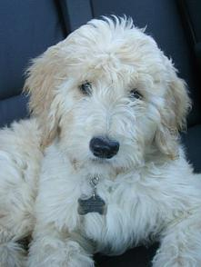 Goldendoodle and Labradoodle Puppies from Yesteryear Acres