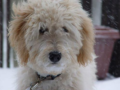 goldendoodle puppies for sale in michigan. makeup Goldendoodle Puppies